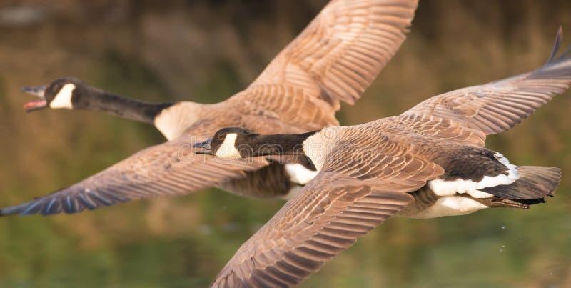 De plus grandes oies de Canada en vol photographie stock