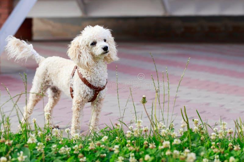 De Poedel van het hondras stock foto's