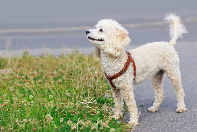 De Poedel van het hondras stock fotografie