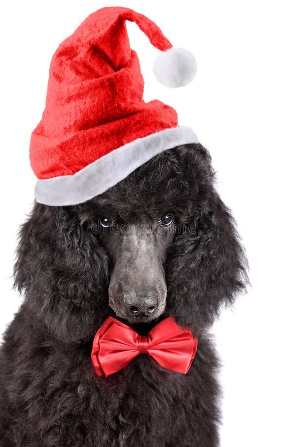 De poedel van het Kerstmispuppy royalty-vrije stock foto's