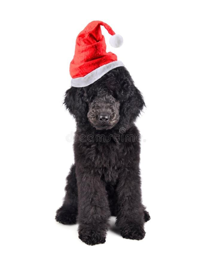 De poedel van het Kerstmispuppy stock foto