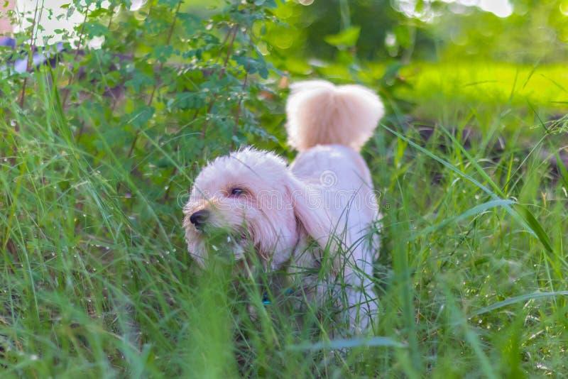 De poedelhond eet graszaad, eten de Honden gras in de tuin stock foto