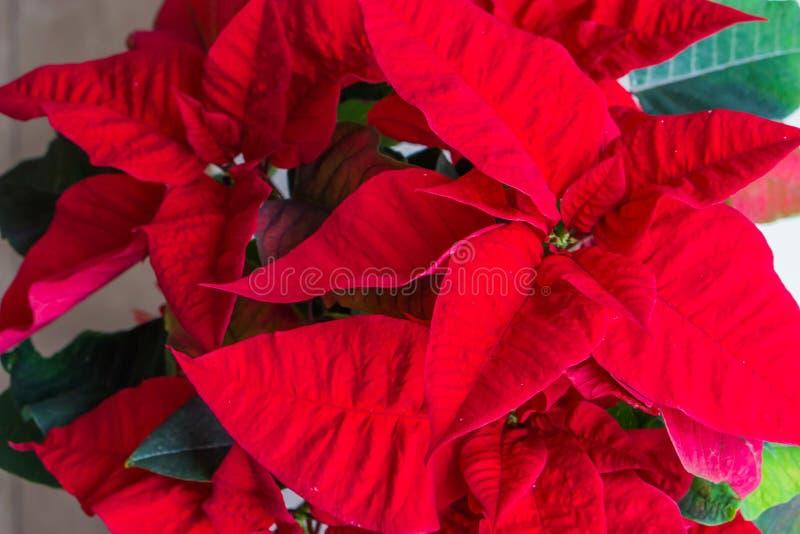 De poinsettia kennen beter als rode bloem van de Kerstmisster, een traditionele decoratieve installatie voor de viering van de Ke stock foto