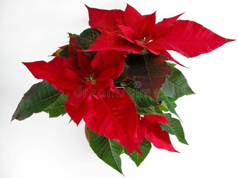 De Poinsettia van Kerstmis royalty-vrije stock fotografie