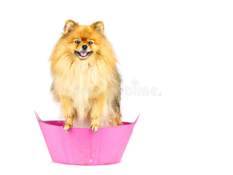 De Pomeranianhond treft aan het nemen van een bad voorbereidingen die zich in roze badkuip bevinden royalty-vrije stock foto