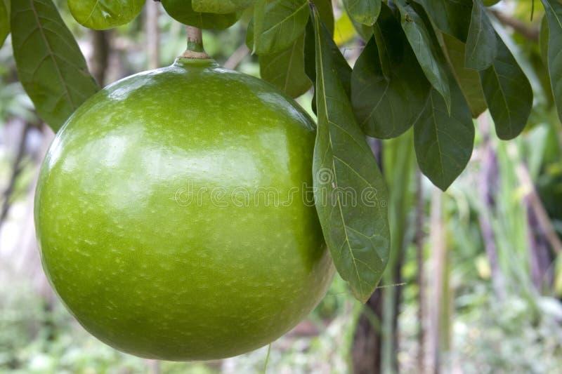De Pompelmoes van de boomgaard stock foto's