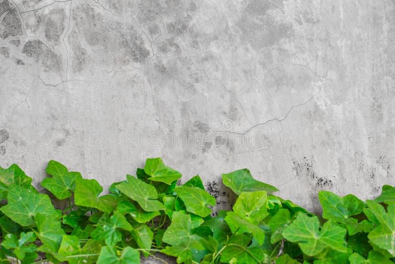 De pompoenblad van de aard groen klimop op concrete muuraard als achtergrond royalty-vrije stock afbeeldingen