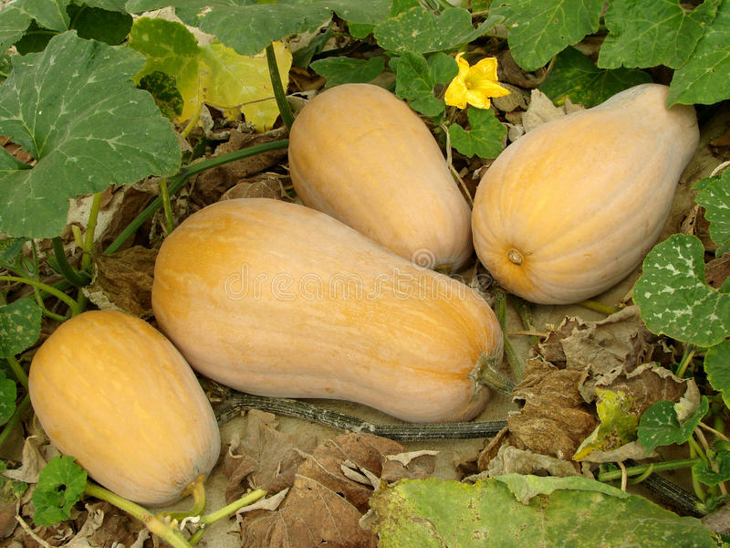 De pompoenen van Butternut stock foto