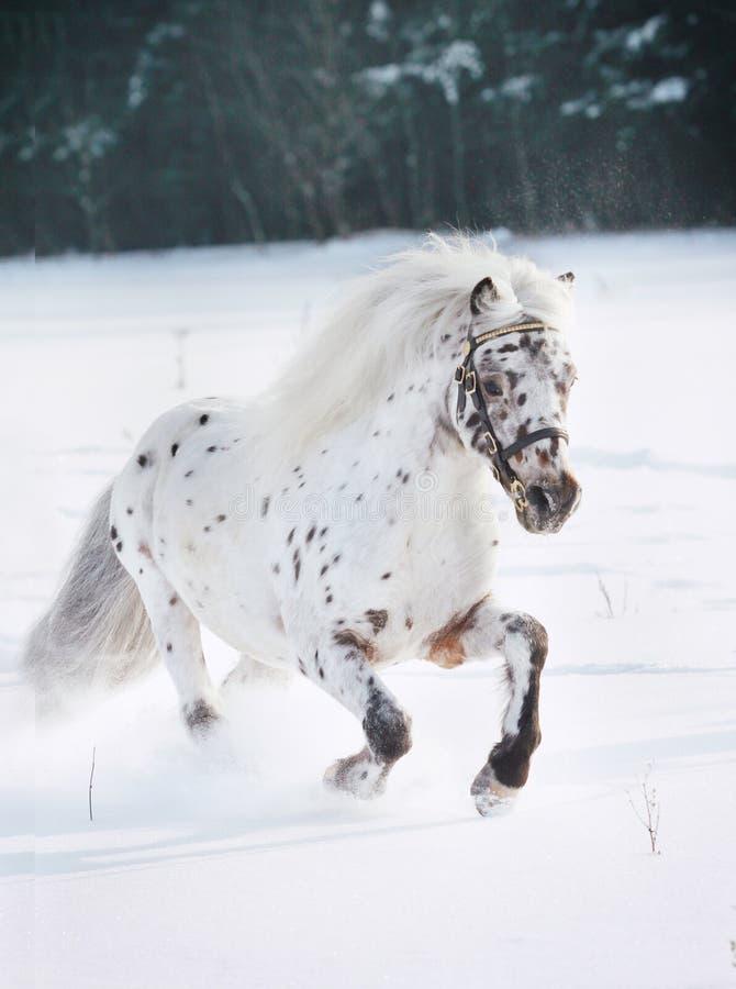 De poney van Appaloosa in sneeuw stock foto