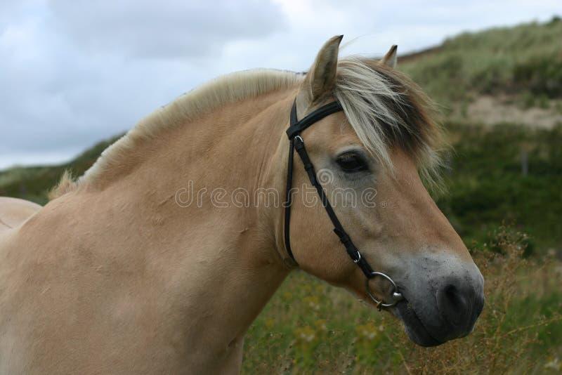 De poney van de fjord royalty-vrije stock foto