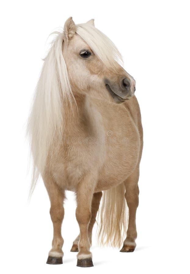 De poney van Palominoshetland, Equus-caballus, 3 jaar oud stock fotografie