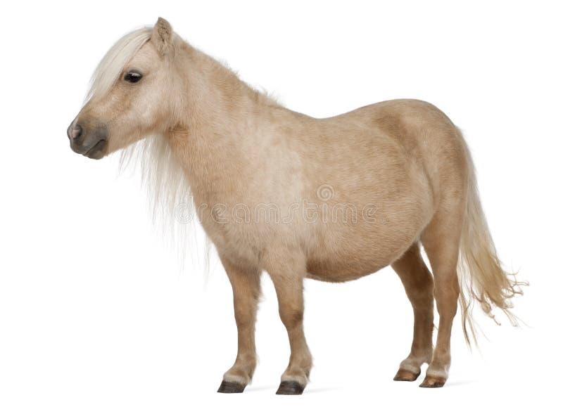 De poney van Palominoshetland, Equus-caballus, 3 jaar oud royalty-vrije stock afbeelding