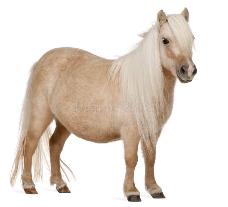 De poney van Palominoshetland, Equus-caballus, 3 jaar oud stock foto