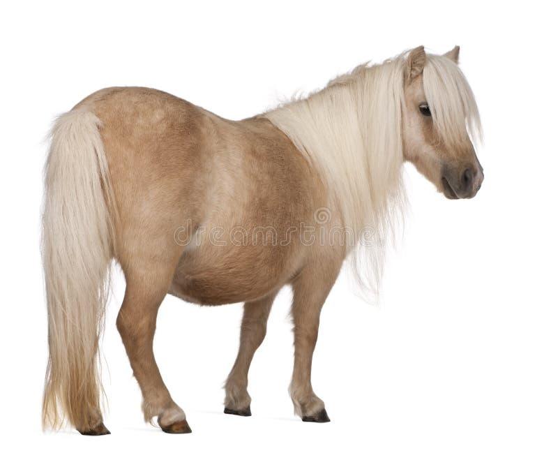 De poney van Palominoshetland, Equus-caballus, 3 jaar oud stock foto's