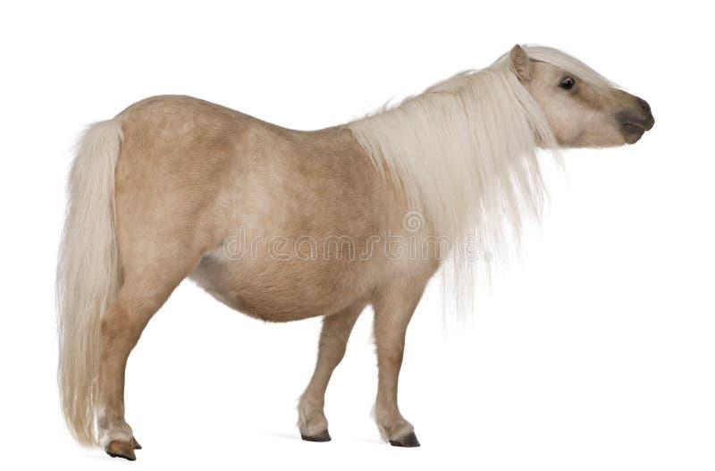 De poney van Palominoshetland, Equus-caballus, 3 jaar oud royalty-vrije stock fotografie
