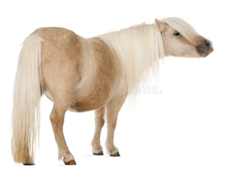 De poney van Palominoshetland, Equus-caballus, 3 jaar oud royalty-vrije stock afbeeldingen