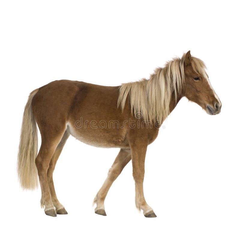 De poney van Shetland (2 jaar) stock foto