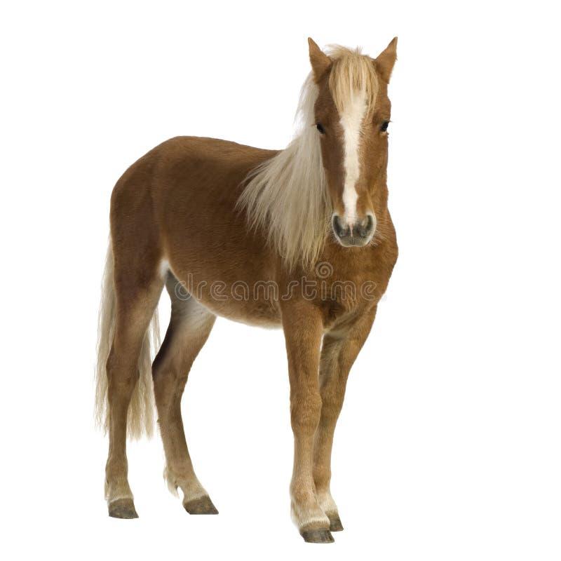 De poney van Shetland (2 jaar) royalty-vrije stock foto's