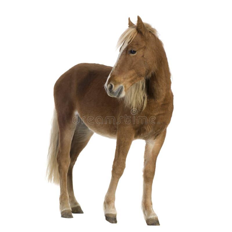 De poney van Shetland (2 jaar) stock afbeelding