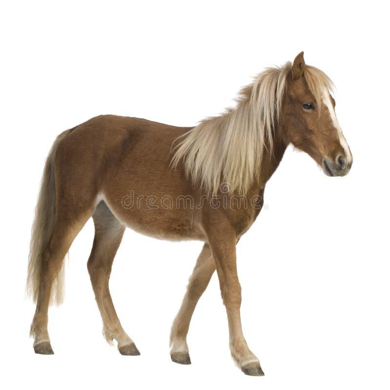 De poney van Shetland (2 jaar) royalty-vrije stock foto