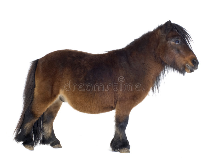 De poney van Shetland