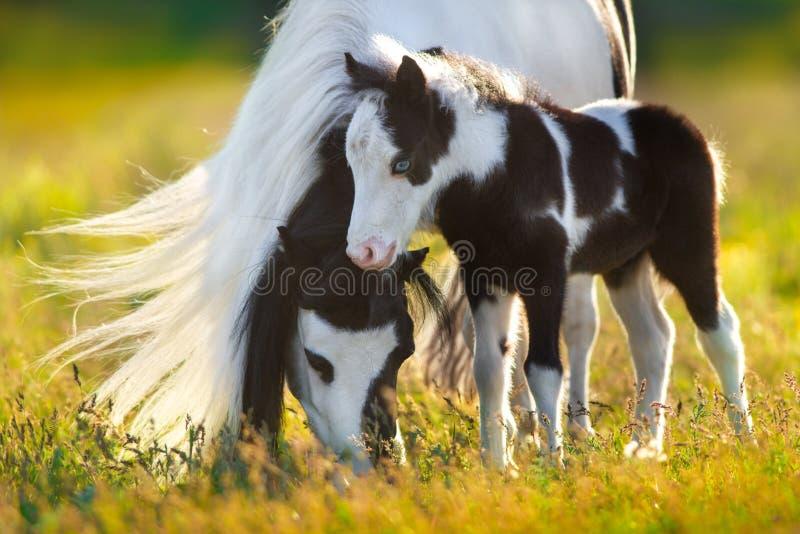 De poney van Shetland met veulen royalty-vrije stock fotografie