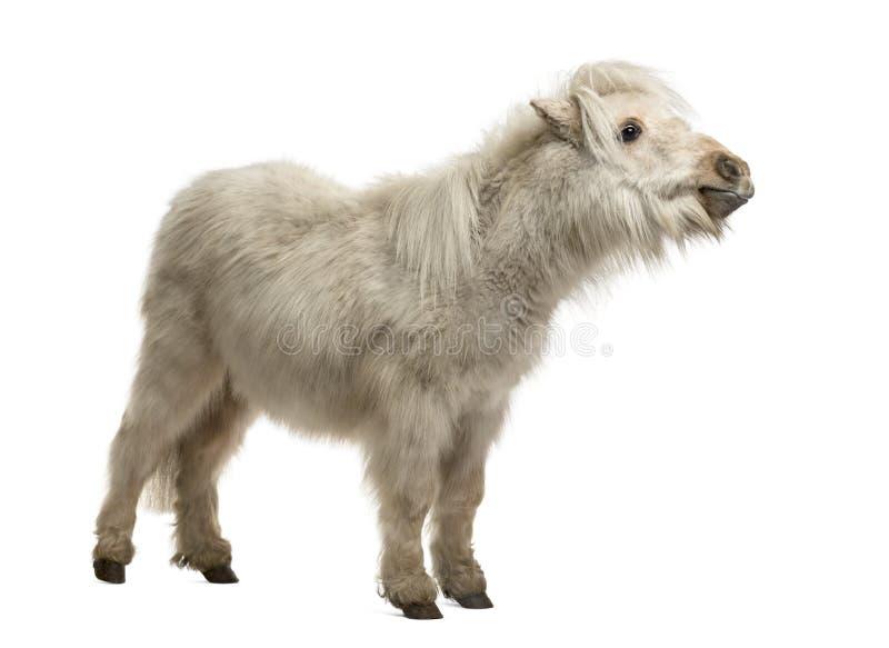De Poney van Shetland op wit wordt geïsoleerd dat stock foto