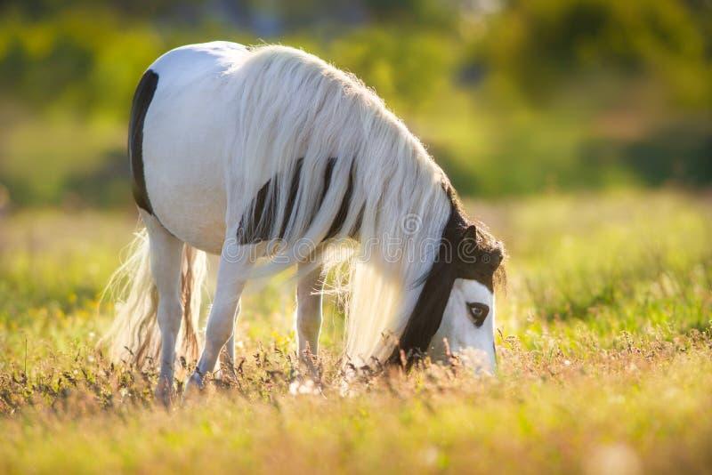 De poneypaard van Shetland royalty-vrije stock foto's