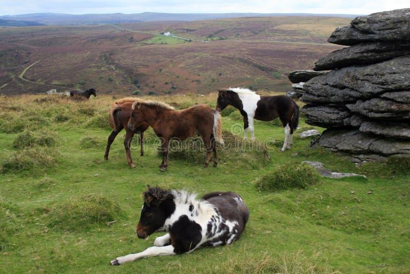 De poneys die van Dartmoor op de Piek van de Berk weiden stock foto