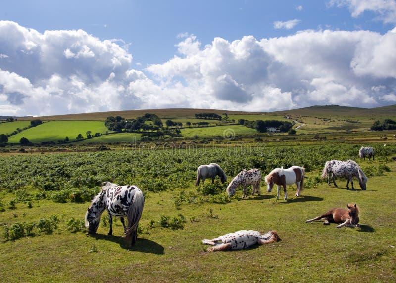 De poneys van Dartmoor royalty-vrije stock afbeelding