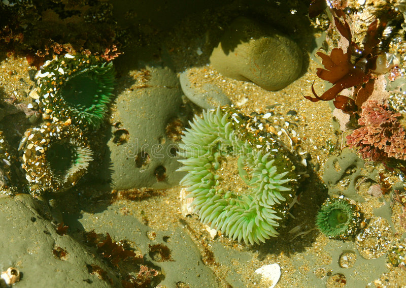 De pool van het getijde: zeeanemonen royalty-vrije stock afbeelding