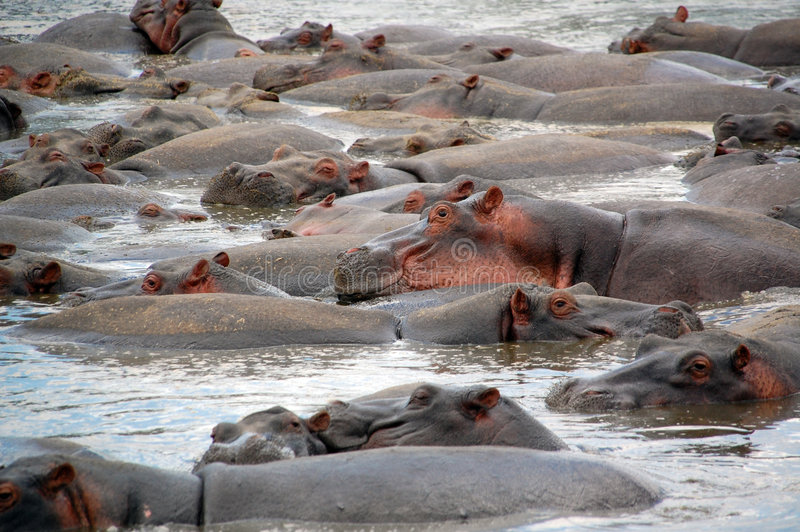 De pool van Hippos, serengeti, Tanzania royalty-vrije stock afbeelding