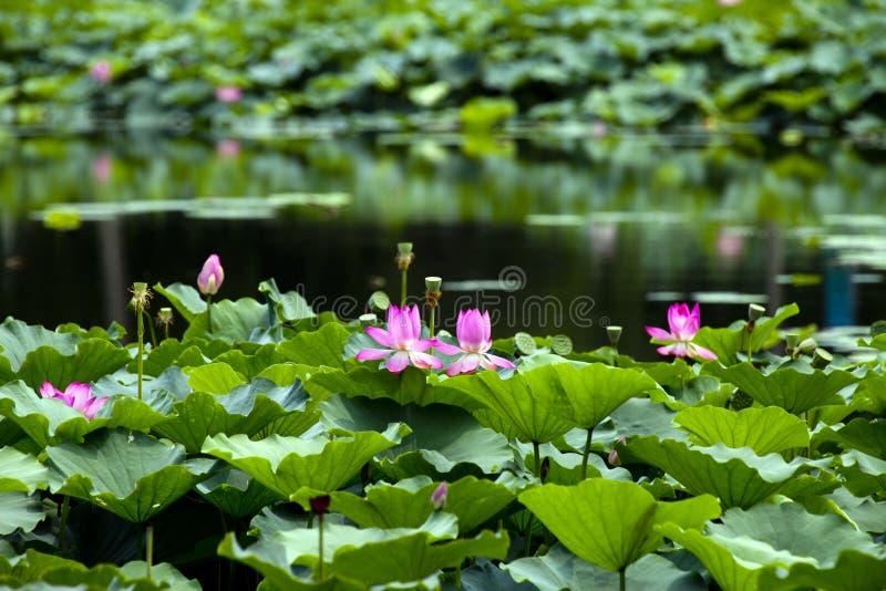 De pool van Lotus royalty-vrije stock foto