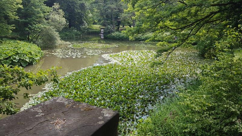 De pool van de waterplantenvijver whitelily stock afbeeldingen