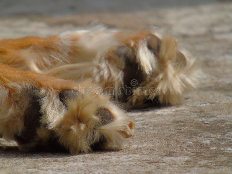 De poot van de hond royalty-vrije stock foto's