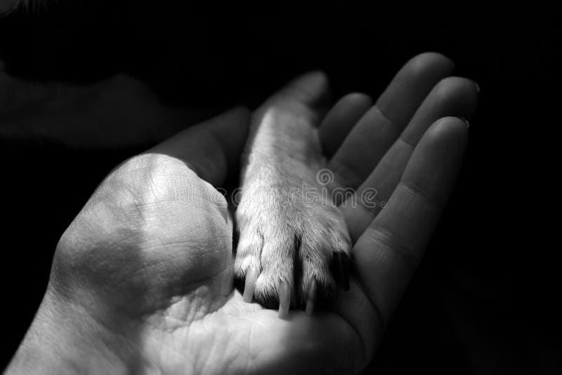 De poot van kleine honden in menselijke hand stock foto's