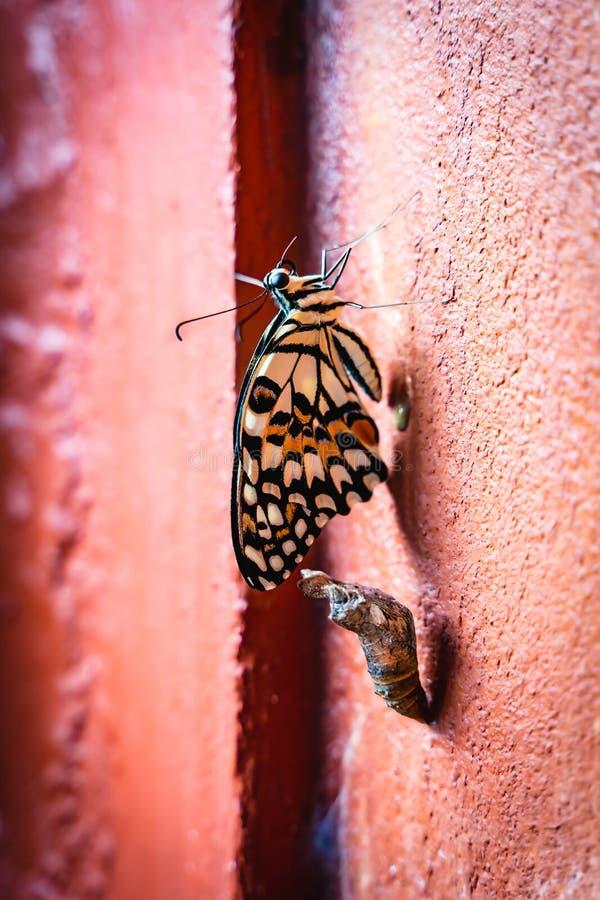 De Pop die van de monarchvlinder uit Poppen of Cocon op de Oranje Muur te voorschijn komen royalty-vrije stock fotografie