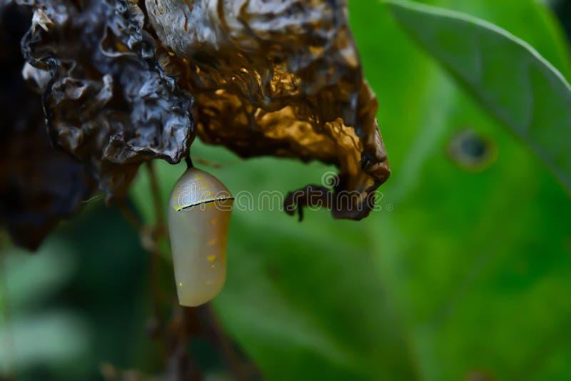 De poppen van de vlinder stock fotografie