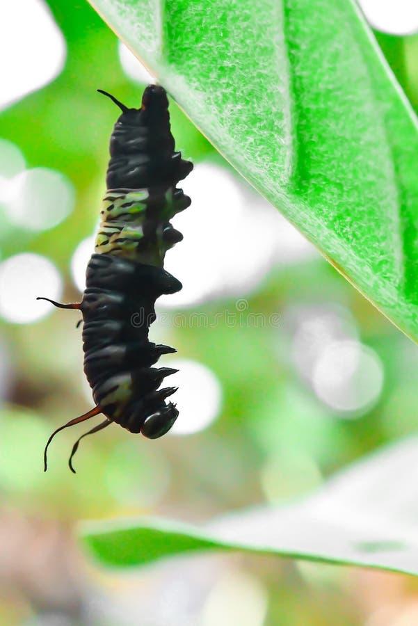 De poppen van de vlinder stock foto