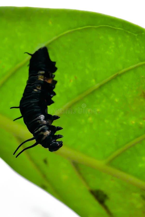 De poppen van de vlinder royalty-vrije stock afbeelding