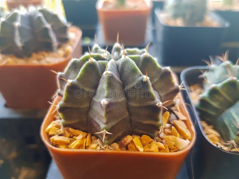 De populaire binneninstallatieselementen en succulents de rozettenverscheidenheden met inbegrip van speld beschermen cactus reali royalty-vrije stock foto