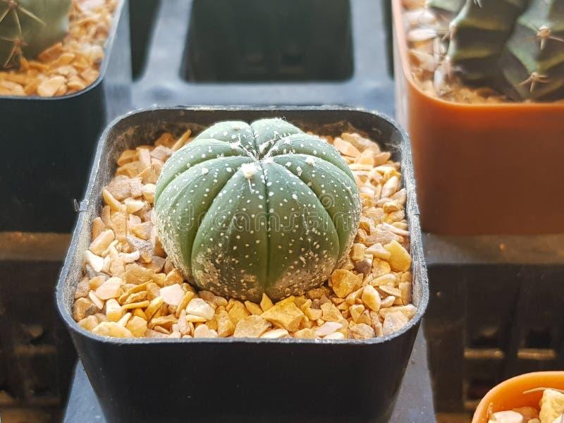 De populaire binneninstallatieselementen en succulents de rozettenverscheidenheden met inbegrip van speld beschermen cactus reali stock foto