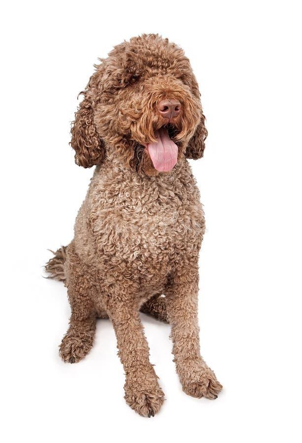 De Portugese Hond van het Water stock afbeeldingen