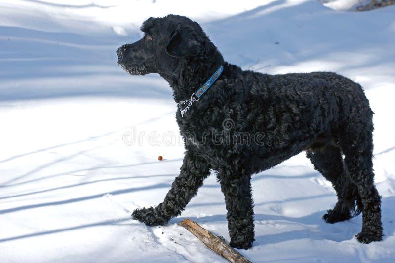 De Portugese Hond van het Water royalty-vrije stock foto