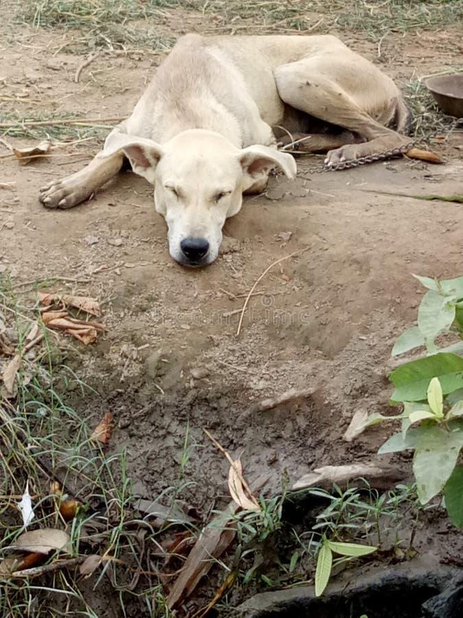 De Positie van de Dog'sslaap; Uit uitgespreid op de Buik stock foto's