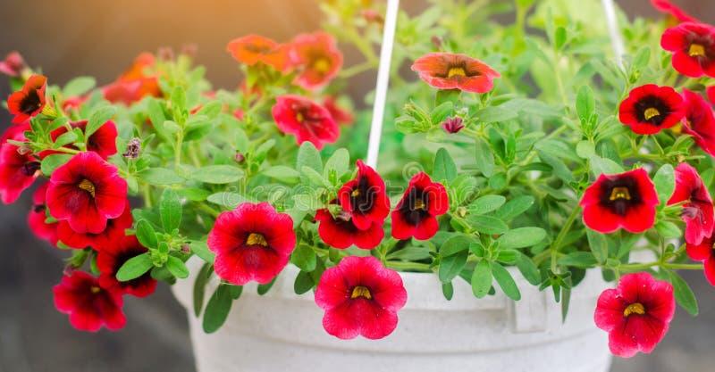 De pot met rode petunia, de mooie lente en de zomer bloeit voor het huis, de tuin, het balkon of het gazon, natuurlijk behang royalty-vrije stock afbeelding