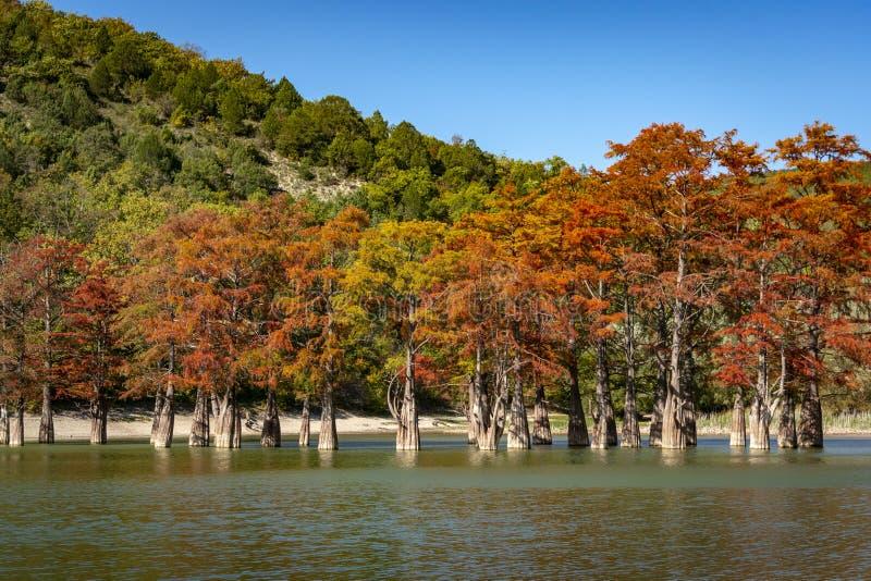 De prachtige de herfst rode en oranje naalden van de groep distichum van cipressentaxodium op het meer in Sukko stock fotografie