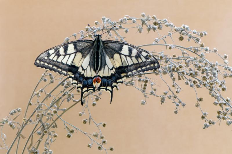De prachtige vlinder Papilio machaon spreidde zijn vleugels uit zonnebadend in het droge gras royalty-vrije stock foto