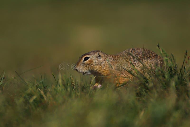 De Prairehond in gras neemt een foto in direct zonlicht wordt geschoten dat stock afbeeldingen