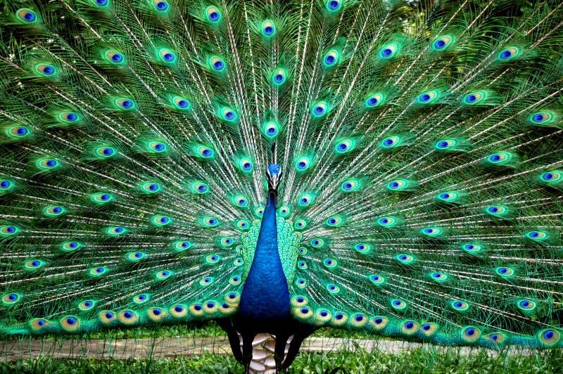 De Prins van de pauw royalty-vrije stock foto's